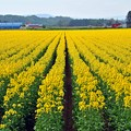 写真: 45 菜の花畑