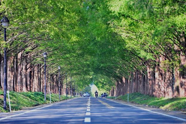 写真: 02 メタセコイアトンネル