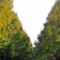 写真: 05 メタセコイア V