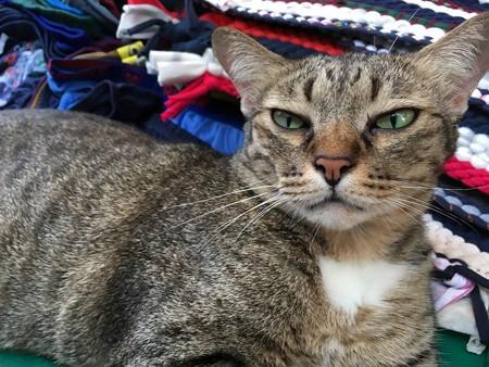 無愛想な看板猫