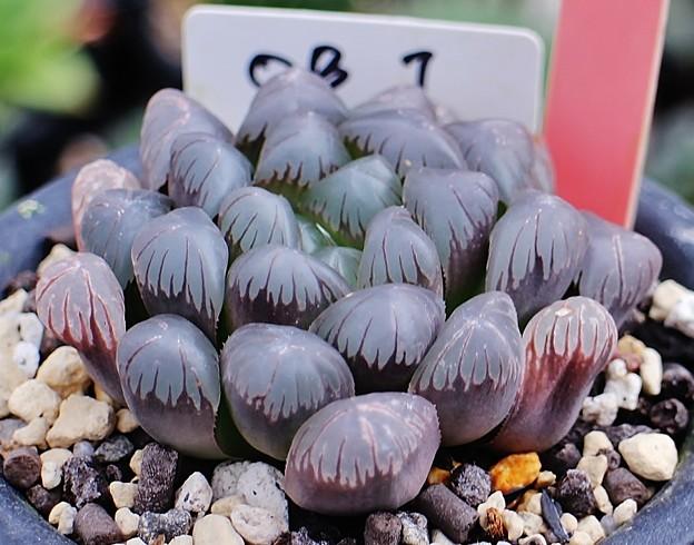 写真: ドドソン紫オブツーサ(OB-1タイプ)