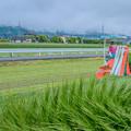 写真: 青々のイ草刈り