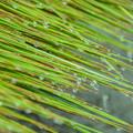 写真: イ草 香りを漂わせ