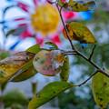 写真: 柿の葉っぱ