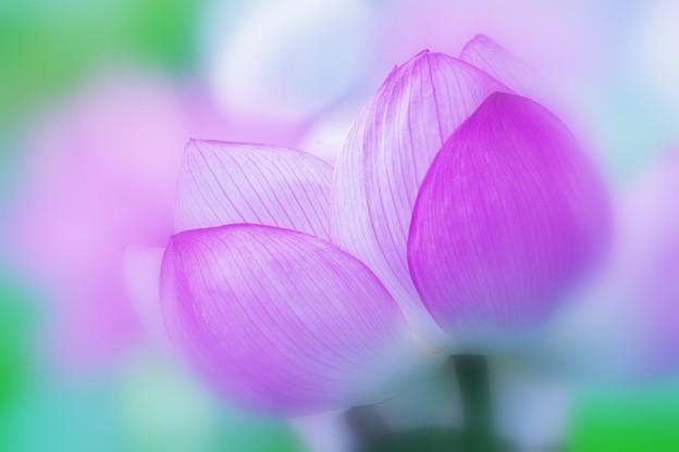 Melting Lotus.