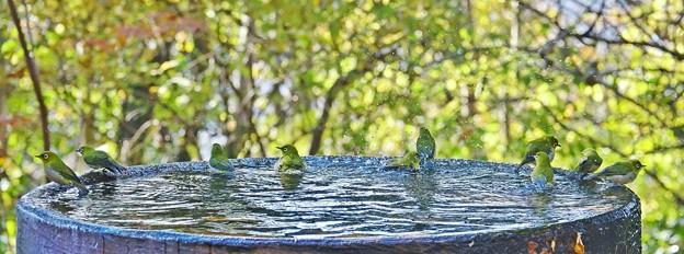 水盤の鳥たち -メジロ群団-