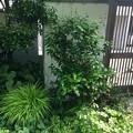 Photos: 昭和62年3月 呉市立昭和中央小学校の卒業式でもらったツバキの苗木がここまで育ったよ 2017年5月23日