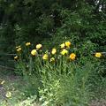 Photos: 芥川緑地公園の黄色い花