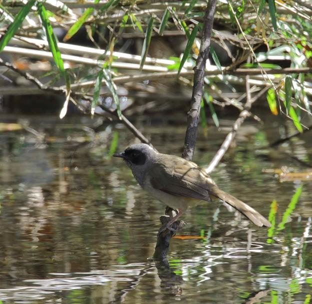 写真: カオグロガビチョウ(3)