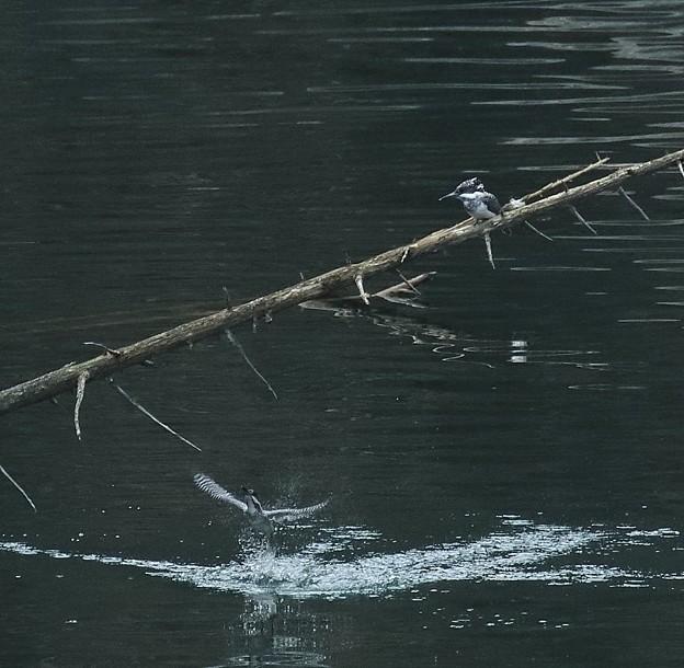 写真: ヤマセミ 水浴び(3)