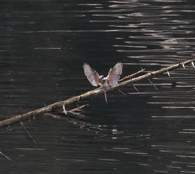 写真: ヤマセミ 羽ばたき(2)