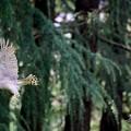 写真: オオタカ 飛翔(3)