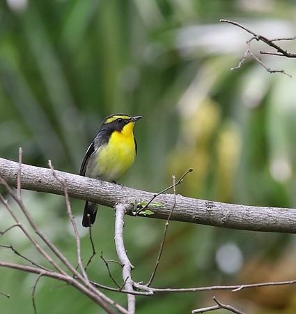野鳥(1115)−キビタキ、目の前に