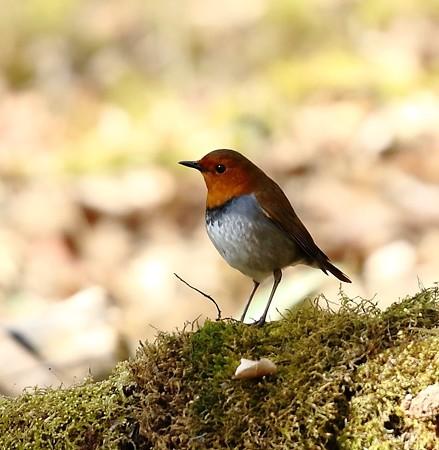野鳥(1116)−コマドリ、鳴き声に癒されます
