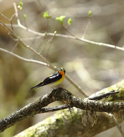 野鳥(1117)−キビタキ, 黄色が魅力