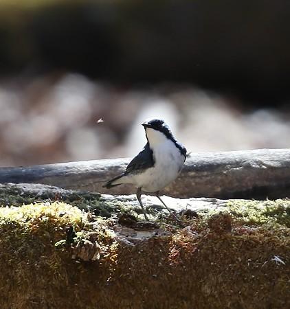 野鳥(1119)−コルリ, 清楚な