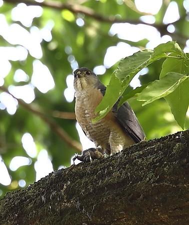 野鳥(1122)−ツミの番、食事風景