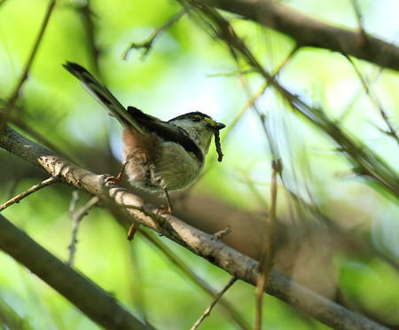 野鳥(1125)-エナガ幼鳥、お山の賑い