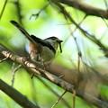 エナガ親鳥(1)