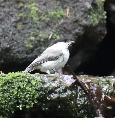 コガラ(3)