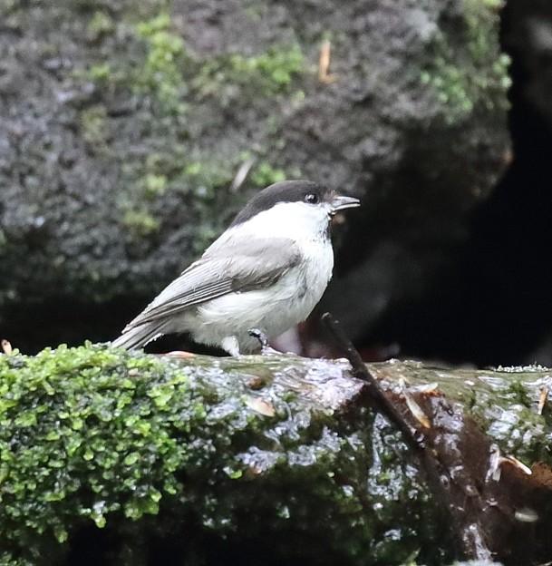 写真: コガラ(3)