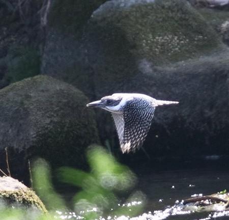 ヤマセミ 飛翔(3)