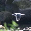 写真: ヤマセミ 飛翔(3)