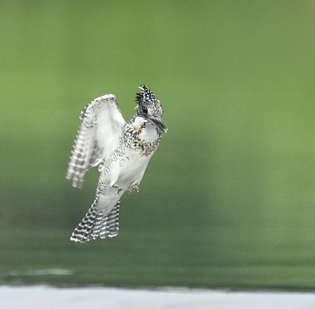野鳥(1132)−ヤマセミ、時にホバリング