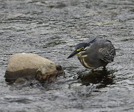 野鳥(1134)−ササゴイ、魚捕り上手