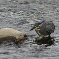 写真: ササゴイ 採餌(1)