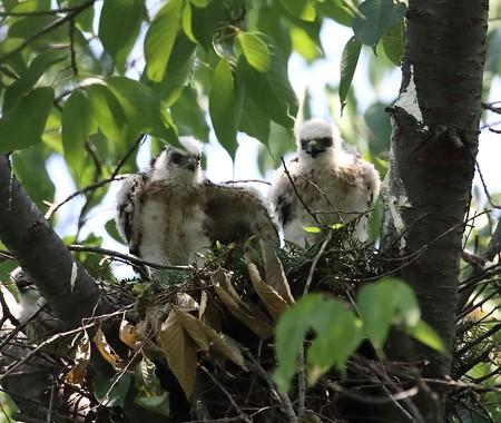 ツミ雛 3羽高見で