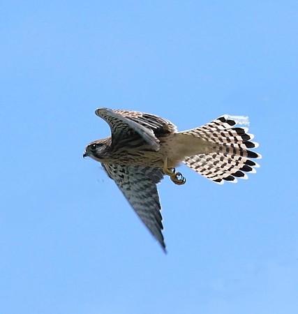 チョウゲンボウ巣立ち雛飛翔