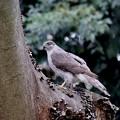 オオタカ成鳥(4)