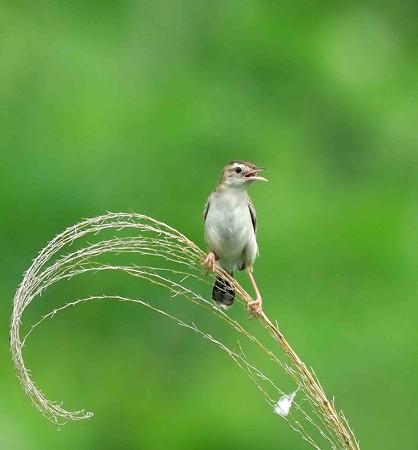 野鳥(1155)−セッカ、営巣中