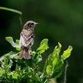 写真: ノビタキ幼鳥(2)