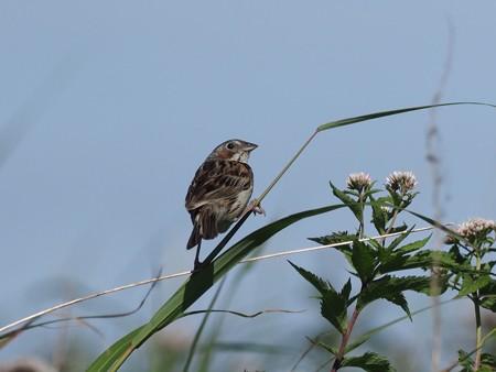 野鳥(1158)−ホオアカ、 高原では幼鳥が…(その二)