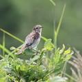 ノビタキ幼鳥(3)