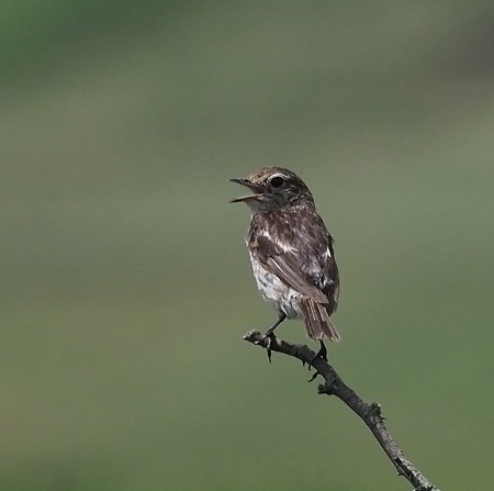 野鳥(1161)−ノビタキ、更に幼鳥(その三)