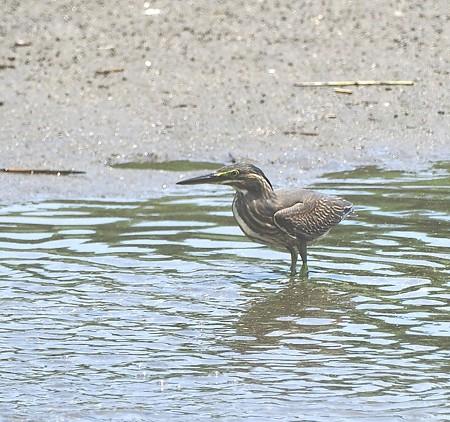 野鳥(1167)−ササゴイ幼鳥, 独り立ち