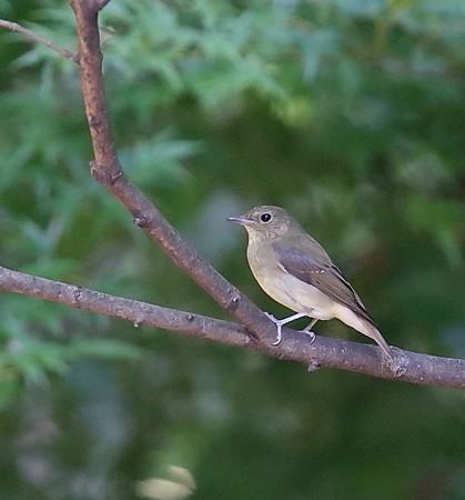 野鳥(1170)−キビタキ、今季初めて