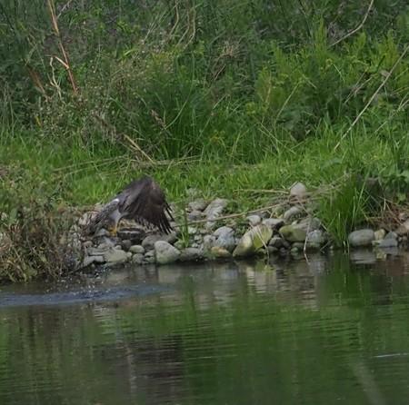 オオタカの狩り(3)