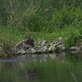 写真: オオタカの狩り(3)