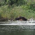 写真: ミサゴ採餌(3)