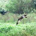 ミサゴ飛翔(3)
