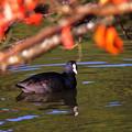 写真: 秋色オオバン