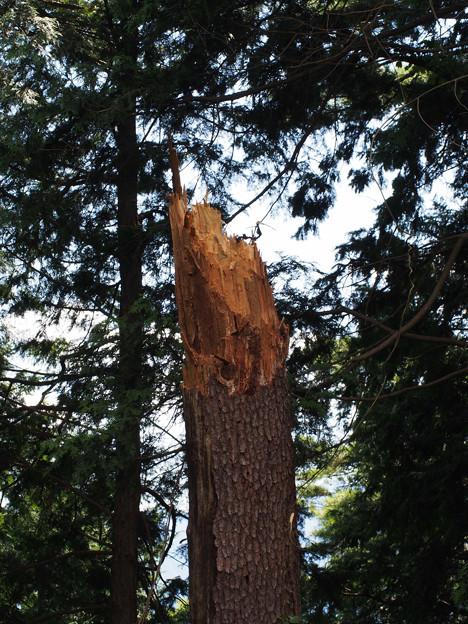 倒れたのはこの木