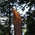 写真: 倒れたのはこの木