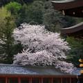 頓宮の庇越に見る桜