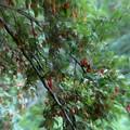 Photos: グミの木散見