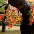 写真: 古樹紅葉